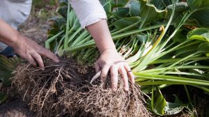 Augalo dauginimas kero dalijimu