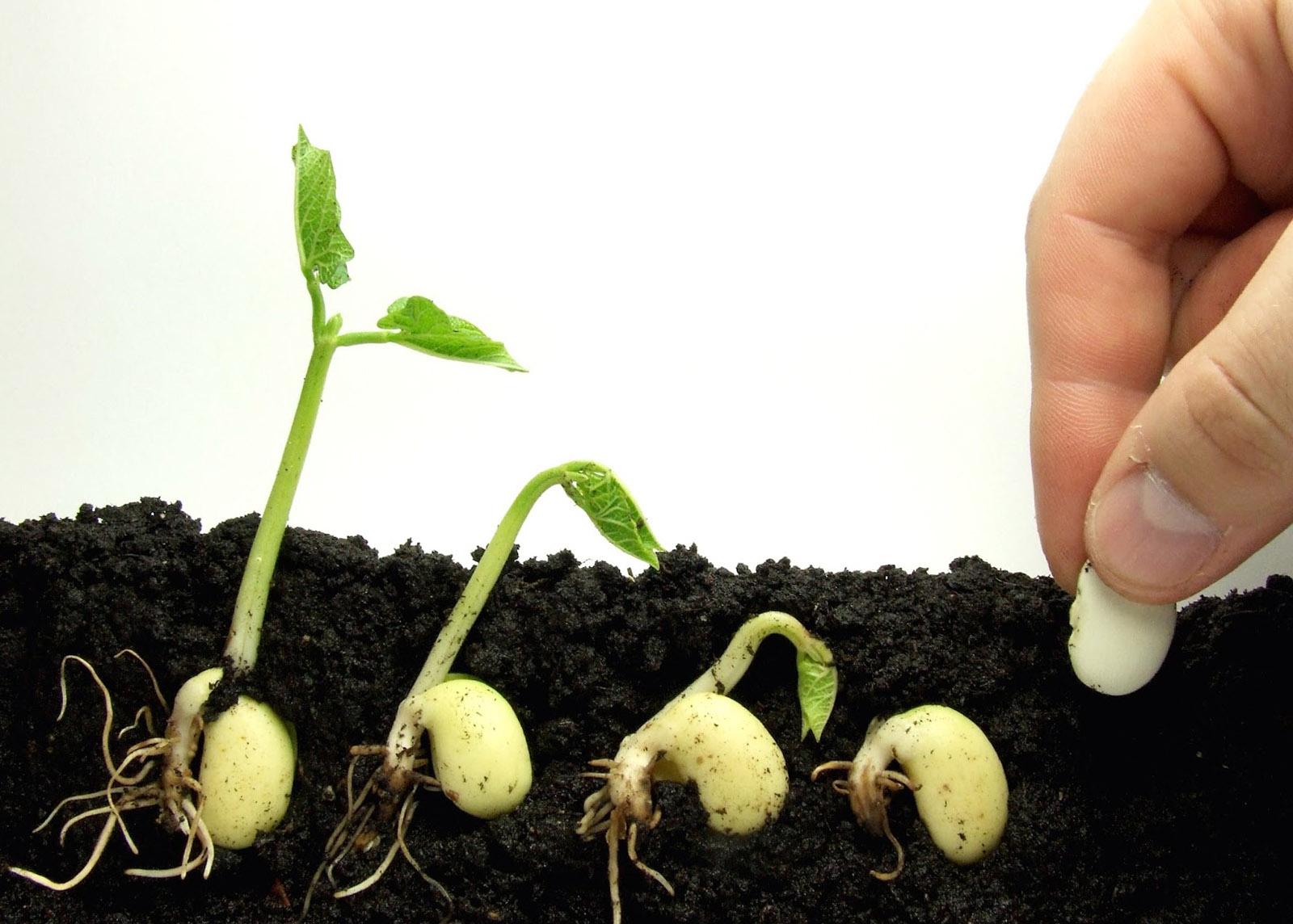 Kaip dygsta sėklos