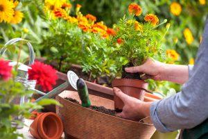 Rugpjūčio mėnesio darbai sode ir darže