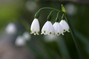 smulkiasvogūnės gėlės