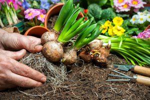 svogūninių gėlių sodinimas