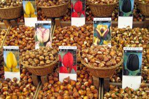 Tulplių svogūnėliai