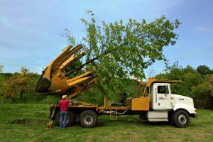 Didelių medžių persodinimas