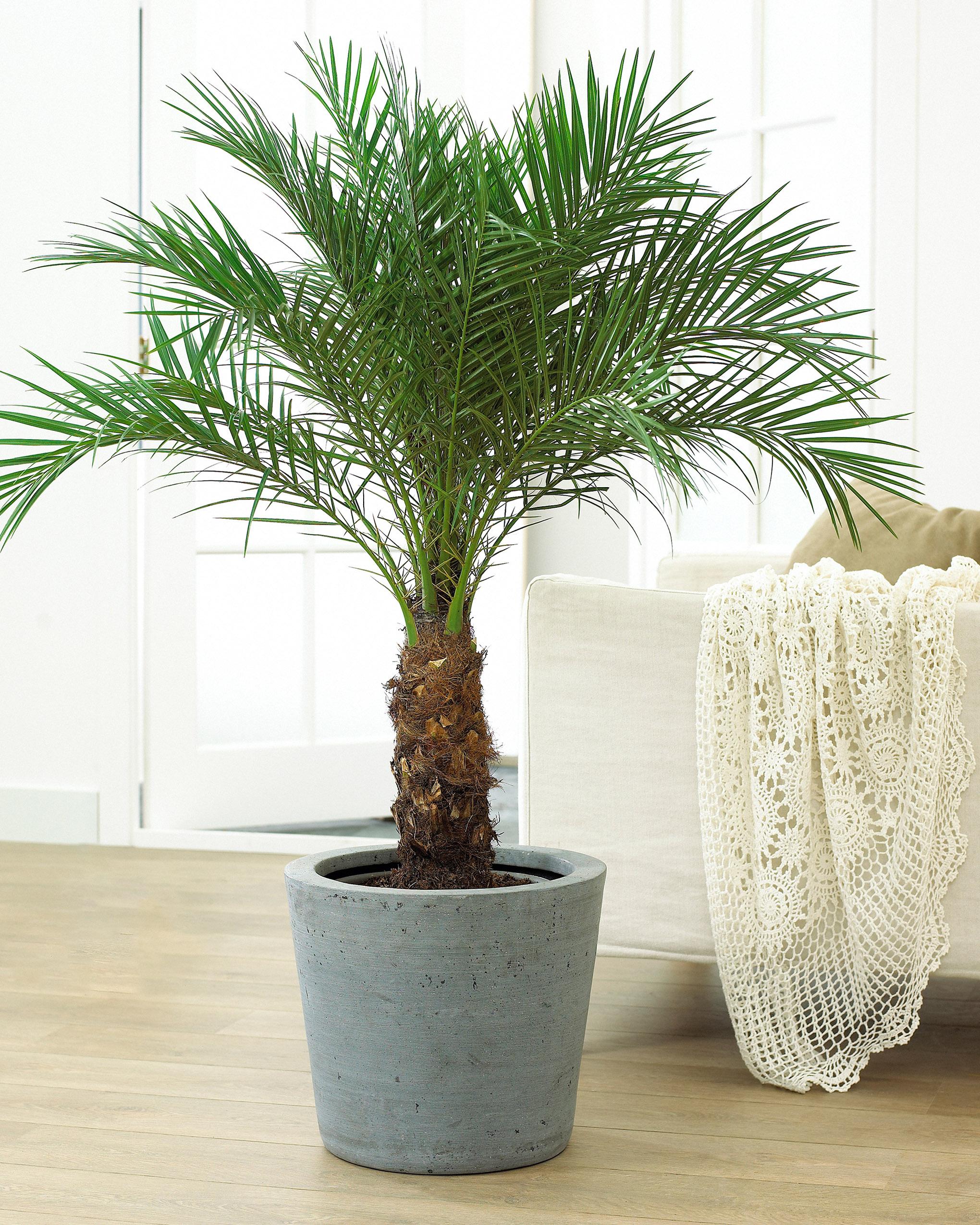 Finikinė palmė