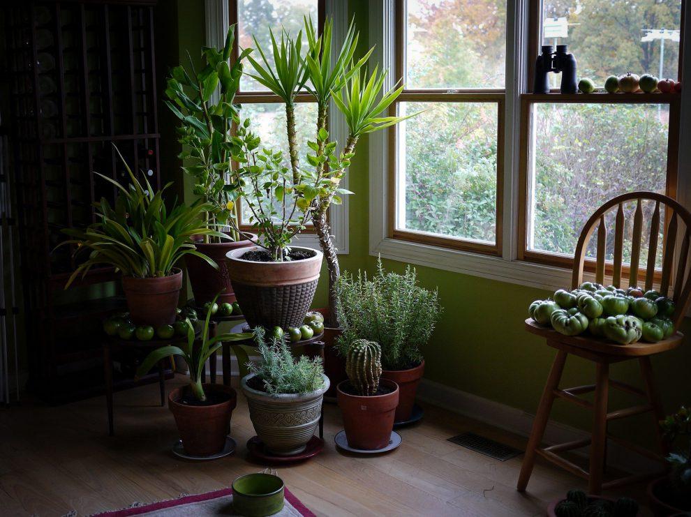 Kai trūksta šviesos augalas rodo šiuos požymius