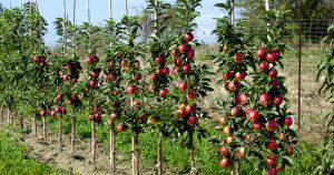 Koloninių obelų gyvatvorė