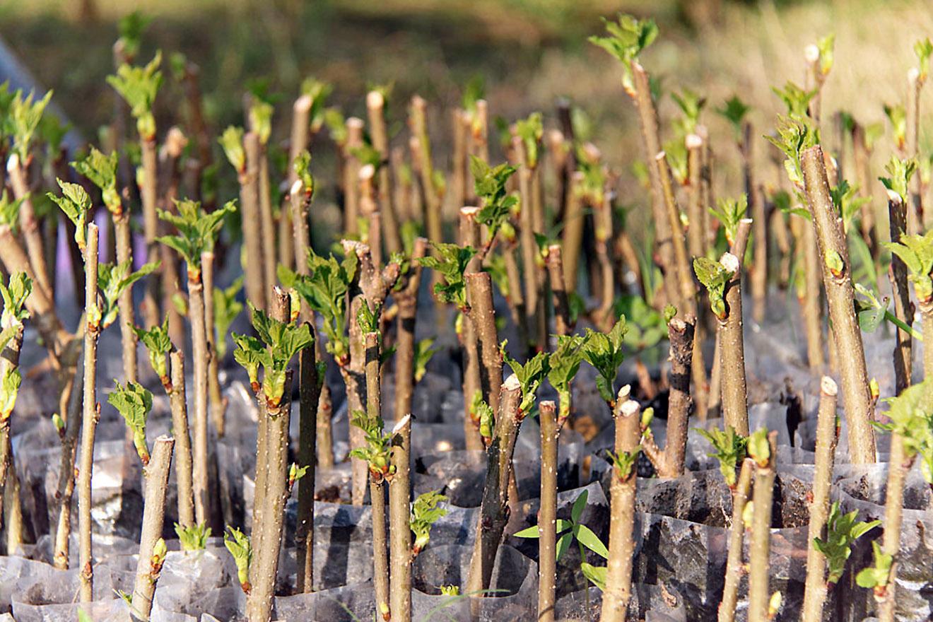 Krūmų auginiai