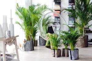 Palmių auginimas ir priežiūra Lietuvoje