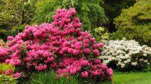 Rododendras ar Azalija
