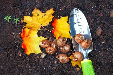 Tulpių sodinimas rudenį