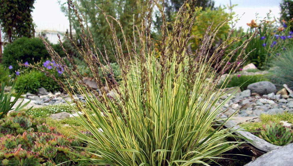 Varpiniai dekoratyviniai augalai