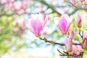 Žydintys dekoratyviniai medžiai
