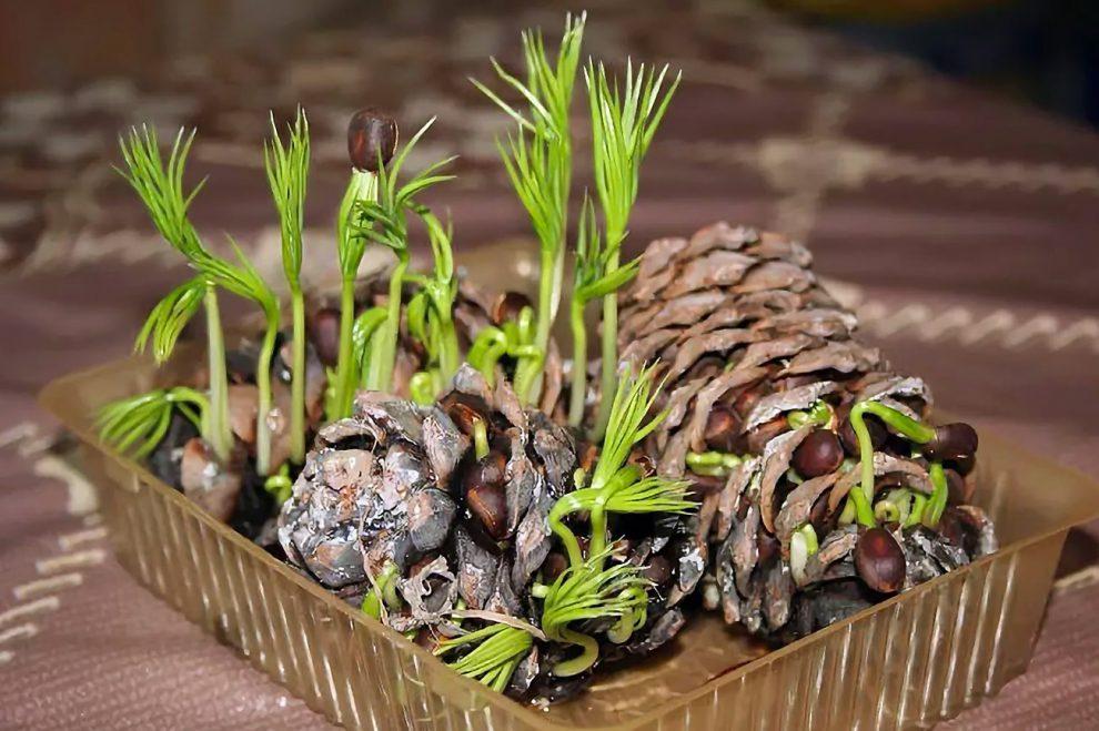 Kedrų auginimas iš sėklų