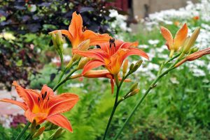 Nereiklios lauko gėlės - Viendienes