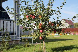 Vasarinių obuolių veislės