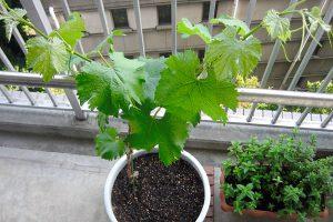 Vynuogės auginimas balkone