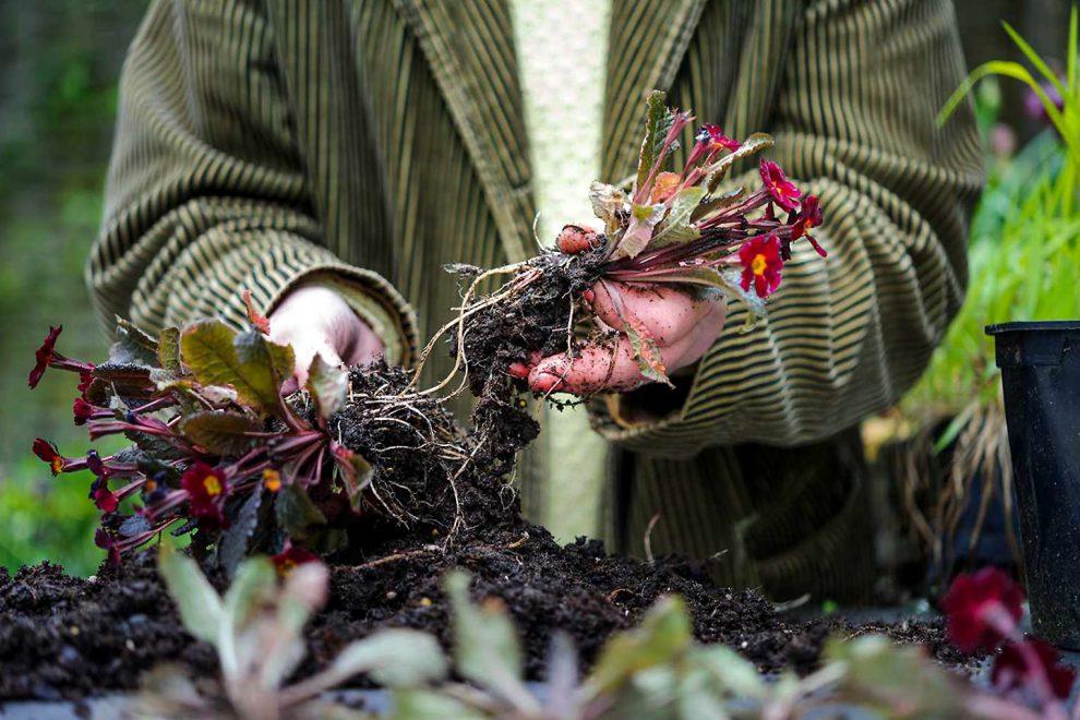 Gėlės dauginimas šaknų auginiais