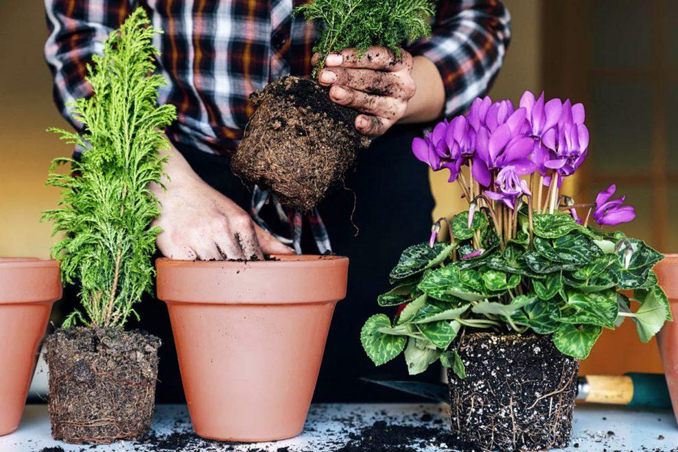 Kambarinių gėlių persodinimas