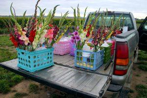 Kardelių auginimas lietuvoje