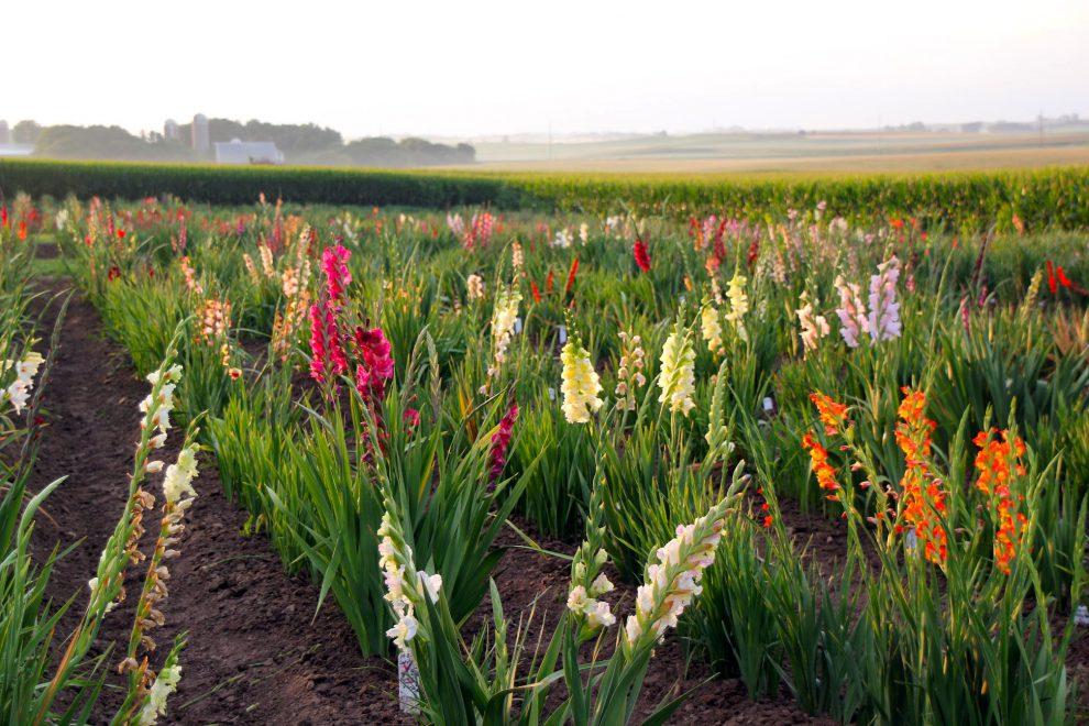 Kardelių sodinimas ir auginimas