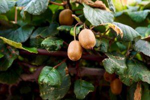 Kivis iš sėklos