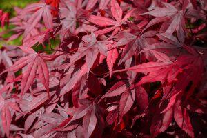 raudonlapis japoninis klevas