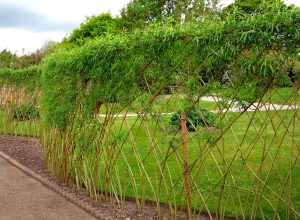 Žaliuojanti pintų karklų tvora