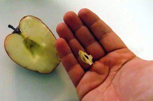 Obuolių sėklų sodinimas