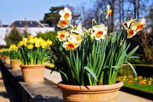 Pirmos pavasarinės gėlės