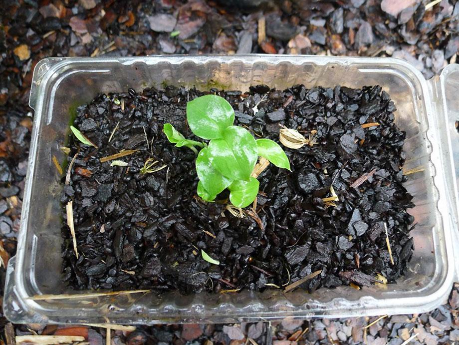 Žydintis kivio augalas