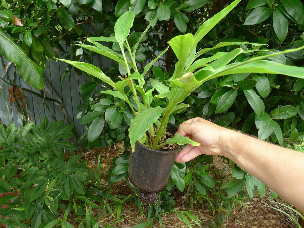 Kardamono auginimas