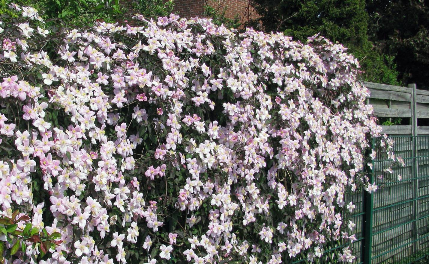 Gėlė raganė (vijoklis ant tvoros)