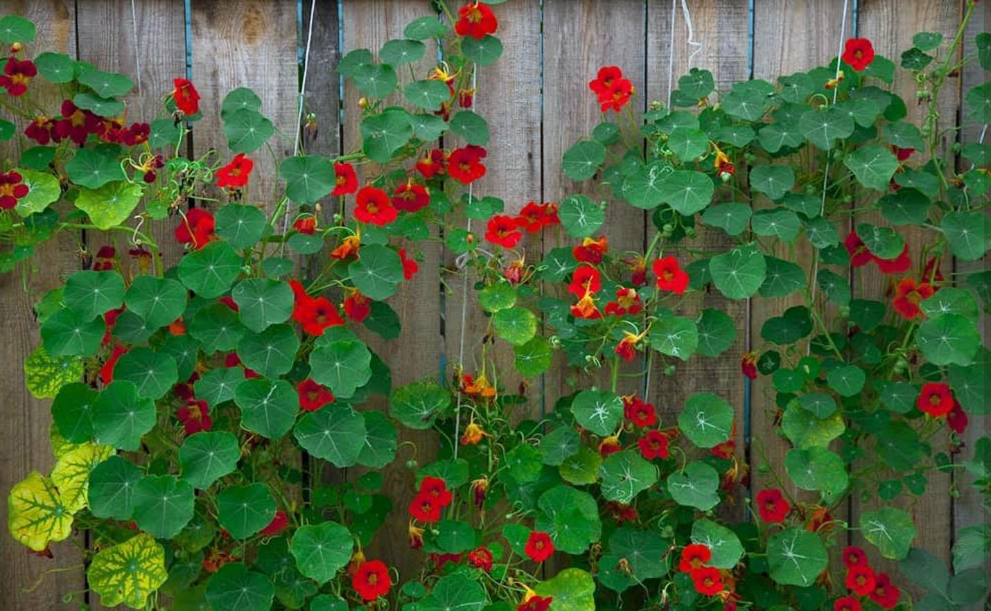 Nasturtė ant tvoros