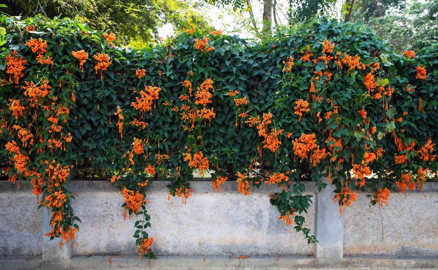 Sausmedis (Vijoklis ant tvoros)