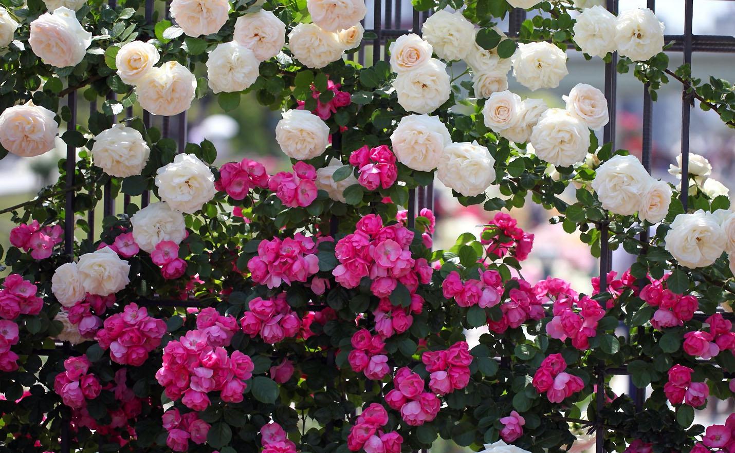 Vijoklinės rožės