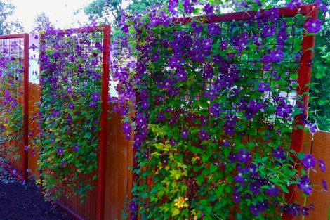 Vijokliniai augalai tvoroms