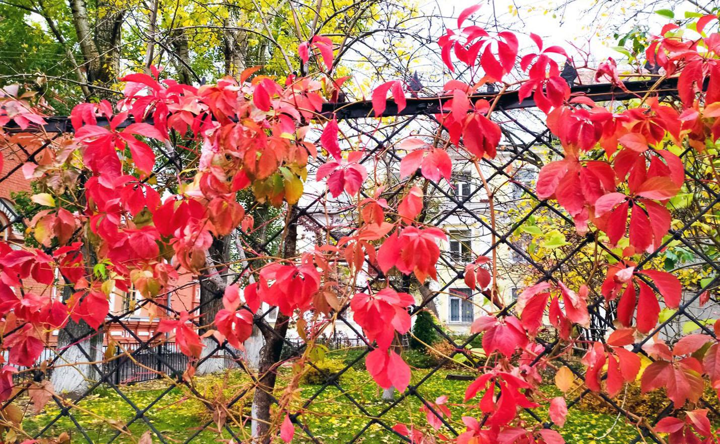 Vinvytis vijoklis ant tvoros