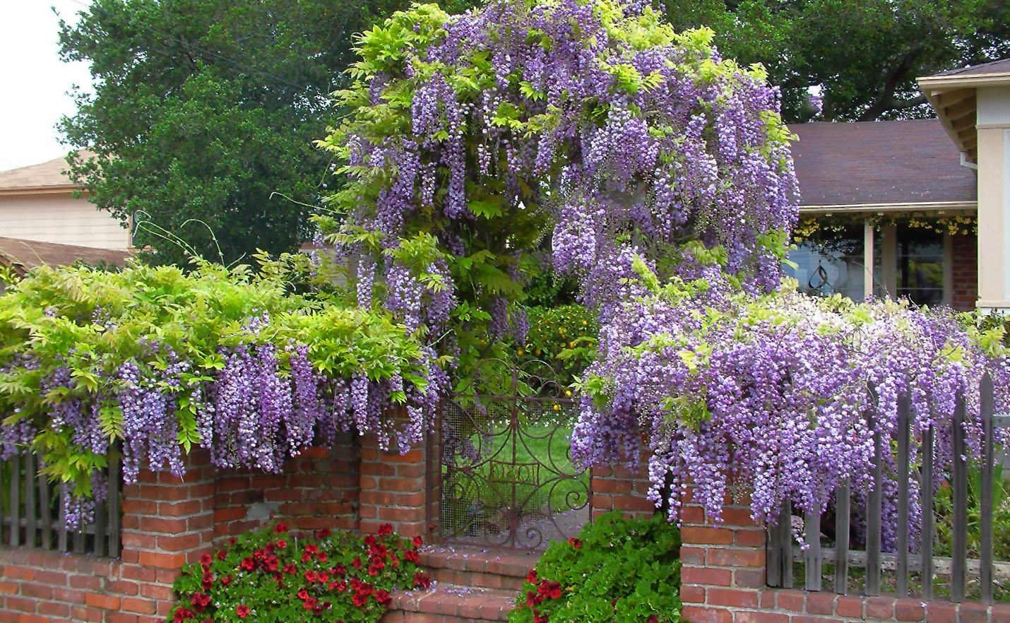 Visterija (wisteria) vijoklis ant tvoros
