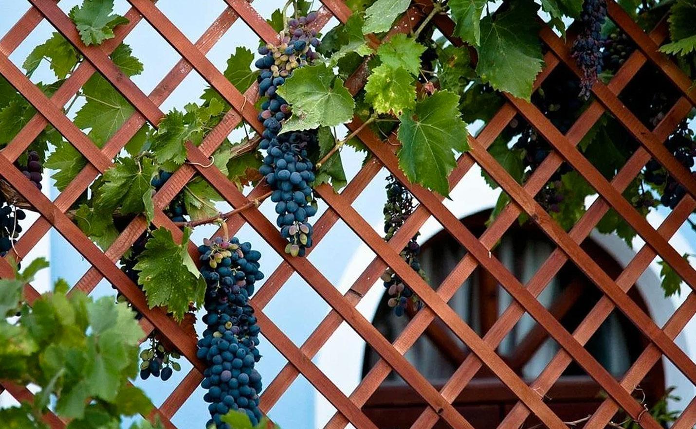 Vynuogė ant tvoros