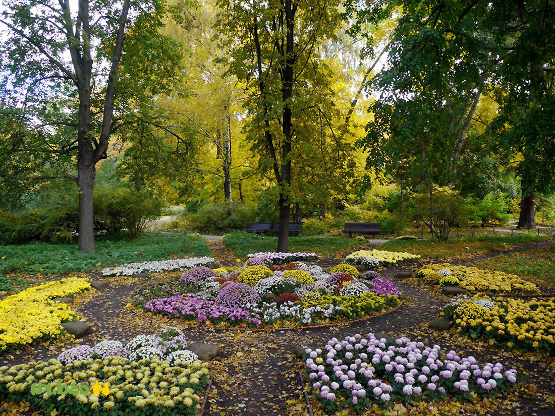 Gėlynas žydintis rudenį
