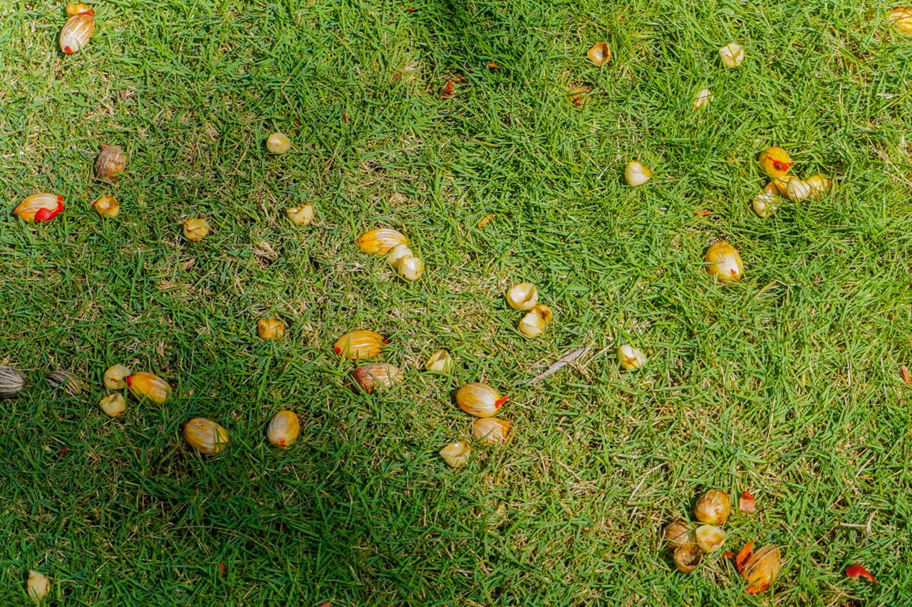 Krokų svogūnėliai pievoje