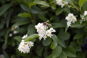 Paprastasis ligustras - žydintis, medingas augalas tinkamas gyvatvorėms
