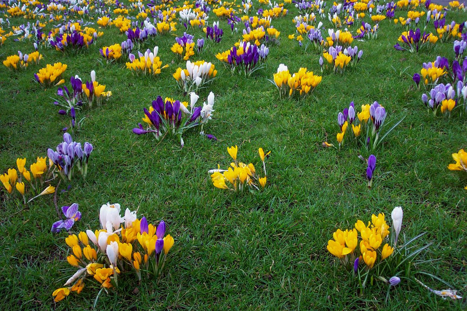 Pavasariniai krokai vejoje