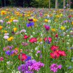 Vienmetės ir dvimetės gėlės