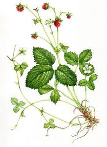 Žemuogės botaninis aprašymas