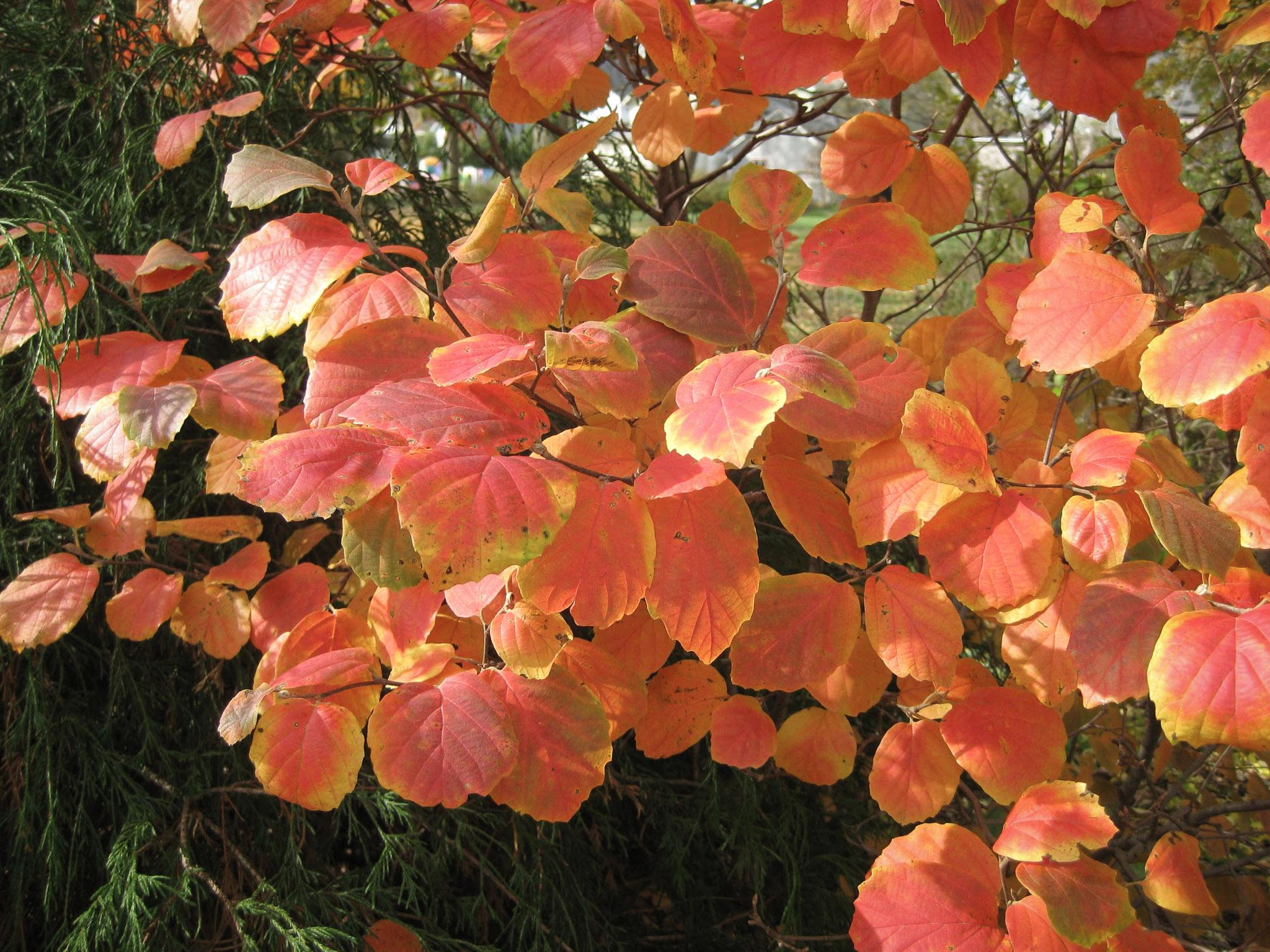 Krūmas japoninis puošmedis rudenį