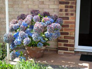 Hortenzija lauko vazone