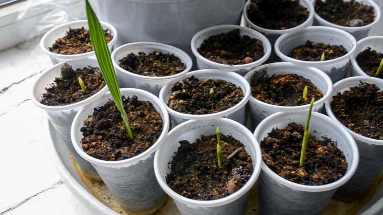 Palmės iš datulės sėklų