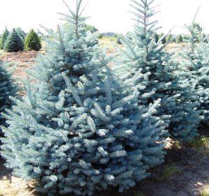 Kalėdų eglutė kačių šlapimo kvapas