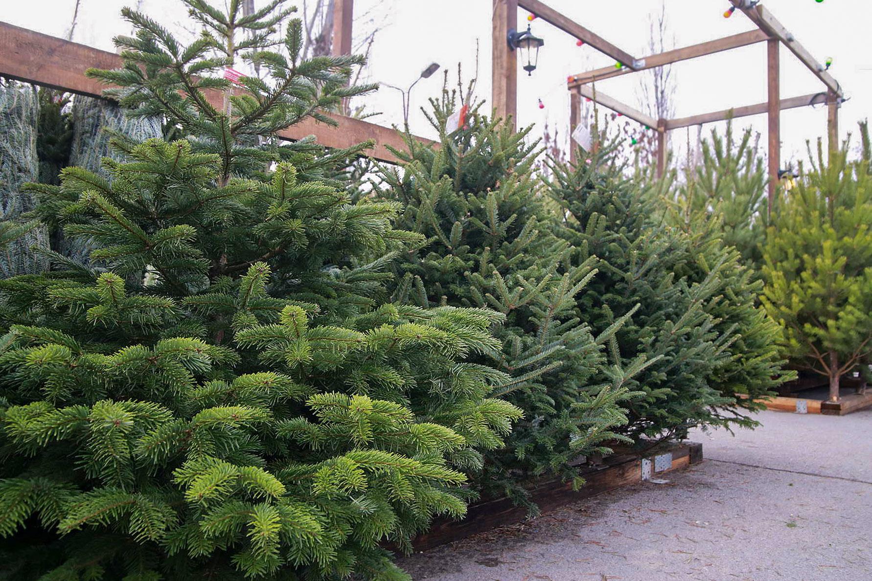 Prekyba kalėdinėmis eglutėmis